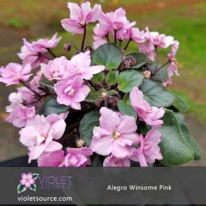 Allegro Winsome Pink – 2″ Live Plant