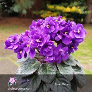 Blue Blazes African Violet – 2″ Live Plant