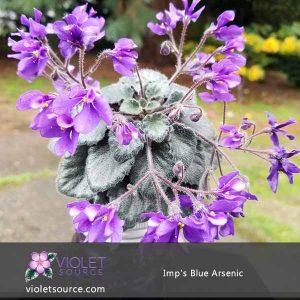 Imp's Blue Arsenic African Violet – 2″ Live Plant