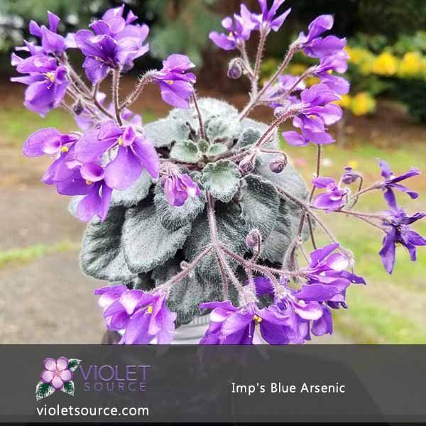 Imp S Blue Nic African Violet 2 Live Plant