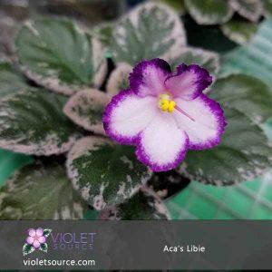 Aca's Libbie African Violet – (2) Cut Leaves