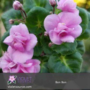 Bon Bon African Violet – 2″ Live Plant