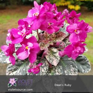 Dean's Ruby African Violet – 2″ Live Plant