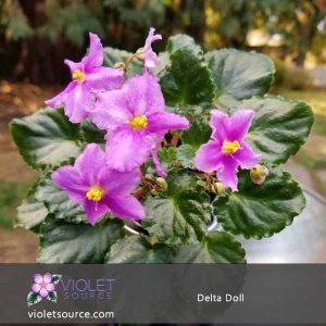 Delta Doll African Violet – 2″ Live Plant