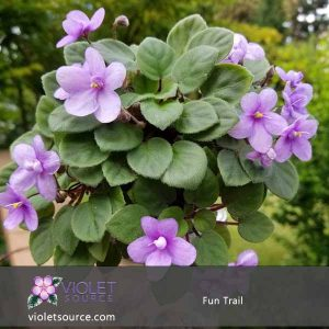 Fun Trail African Violet – 2″ Live Plant