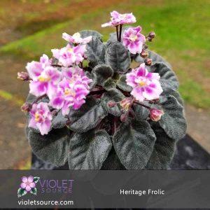 Heritage Frolic African Violet – 2″ Live Plant