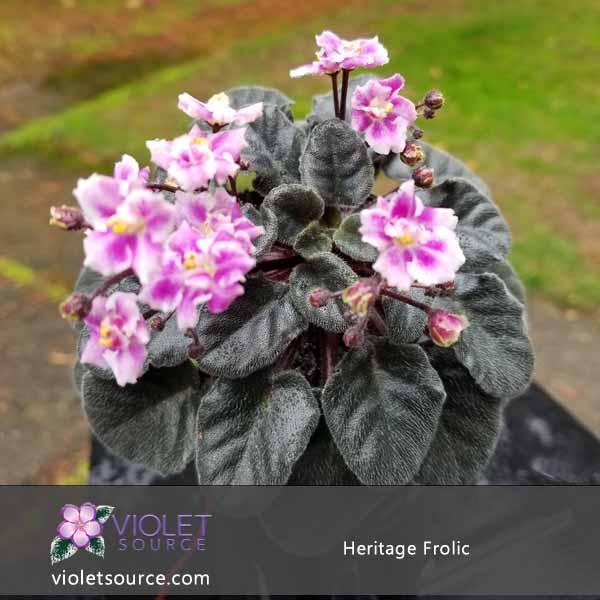 Heritage Frolic African Violet 2 Live Plant