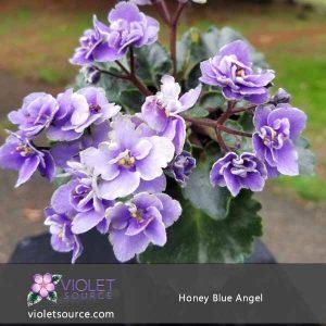 Honey Blue Angel African Violet – 2″ Live Plant