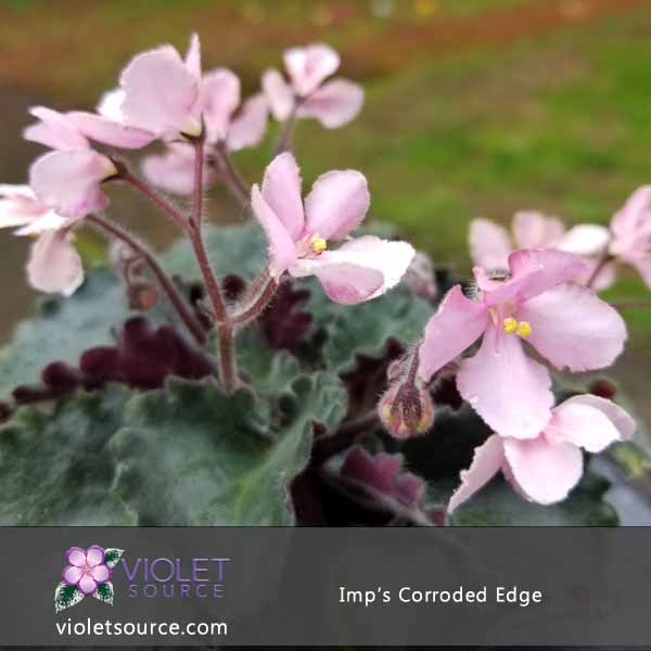 Imp S Corroded Edge African Violet 2 Live Plant
