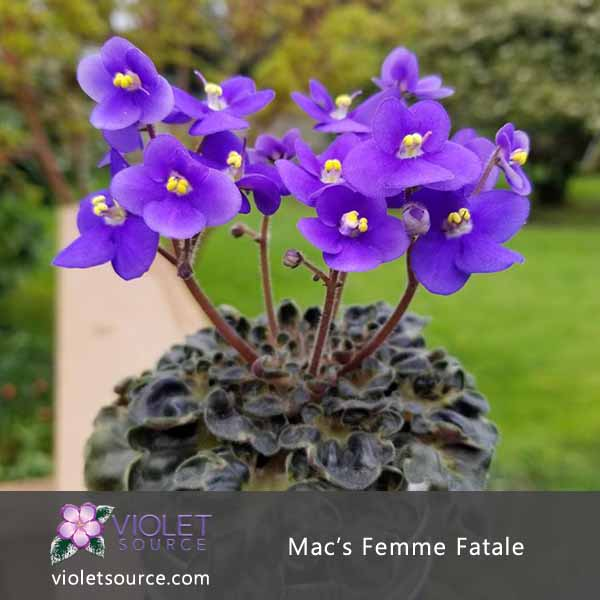 Mac S Femme Fatale African Violet 2 Live Plant